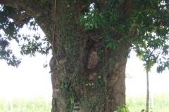 05_Mango-Tree